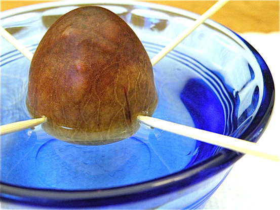 grow avocado from a pit